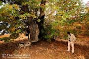 Fotografiando el otoño. Sierra de Las Villuercas / Photographing the autum. castaã±o abuelo otoã±o