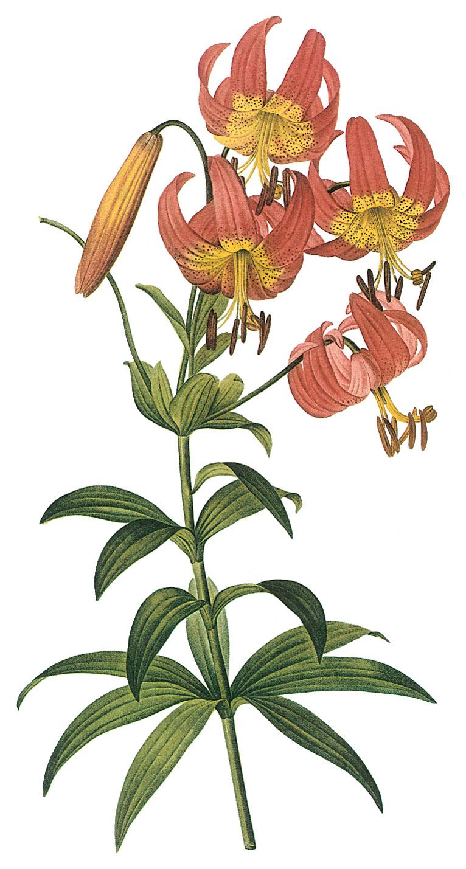 Картинки для декупажа лилии