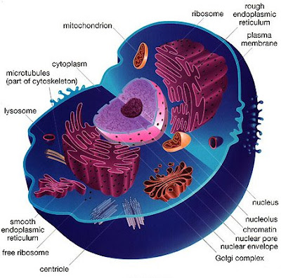 A Generalised Animal Cell as observed under an Electron Microscope.