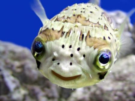 Puffer fish for freshwater aquariums fish for the for Cute freshwater fish