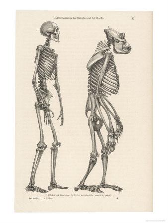 http://2.bp.blogspot.com/_A-SnNpi4_Mk/SwPZiBZAo0I/AAAAAAAAACQ/ZOtEIJ4ynDg/s1600/human-skeleton-compared-with-that-of-a-gorilla.jpg