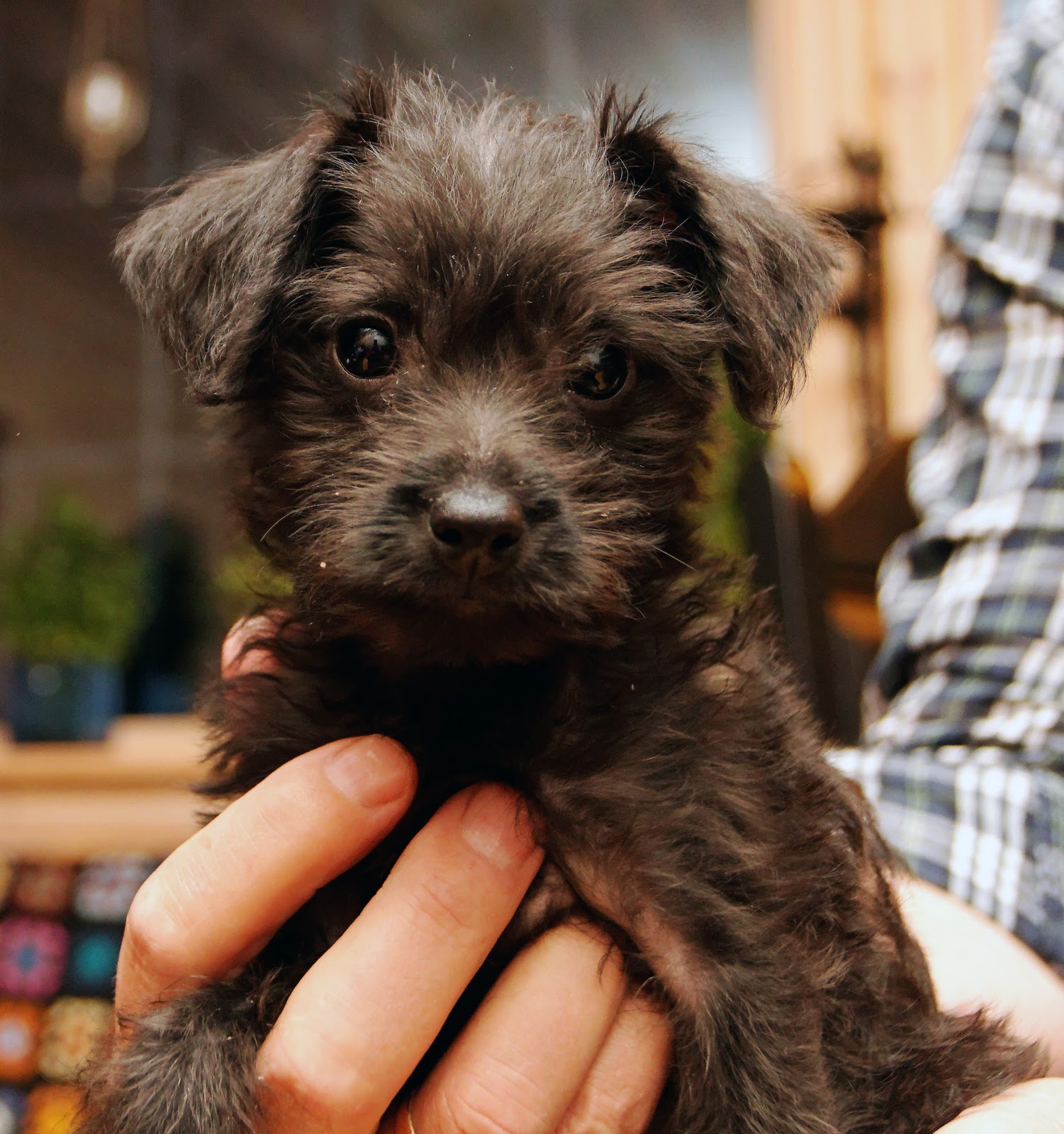 Miniature Pinscher-Miniature Poodle Mix Puppy   LYNVINGEN PHOTOS