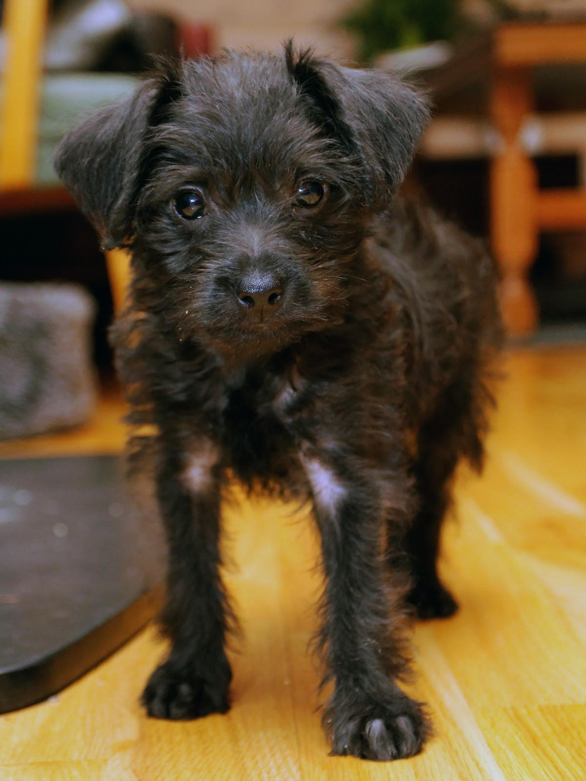 Miniature Pinscher-Miniature Poodle Mix Puppy