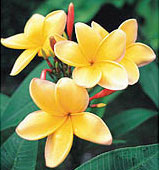 Sacuanjoche, flor nacional