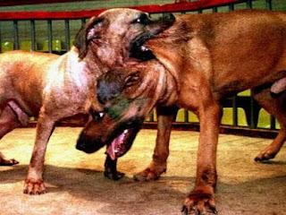 Dog+Fight Dog Fighting Videos