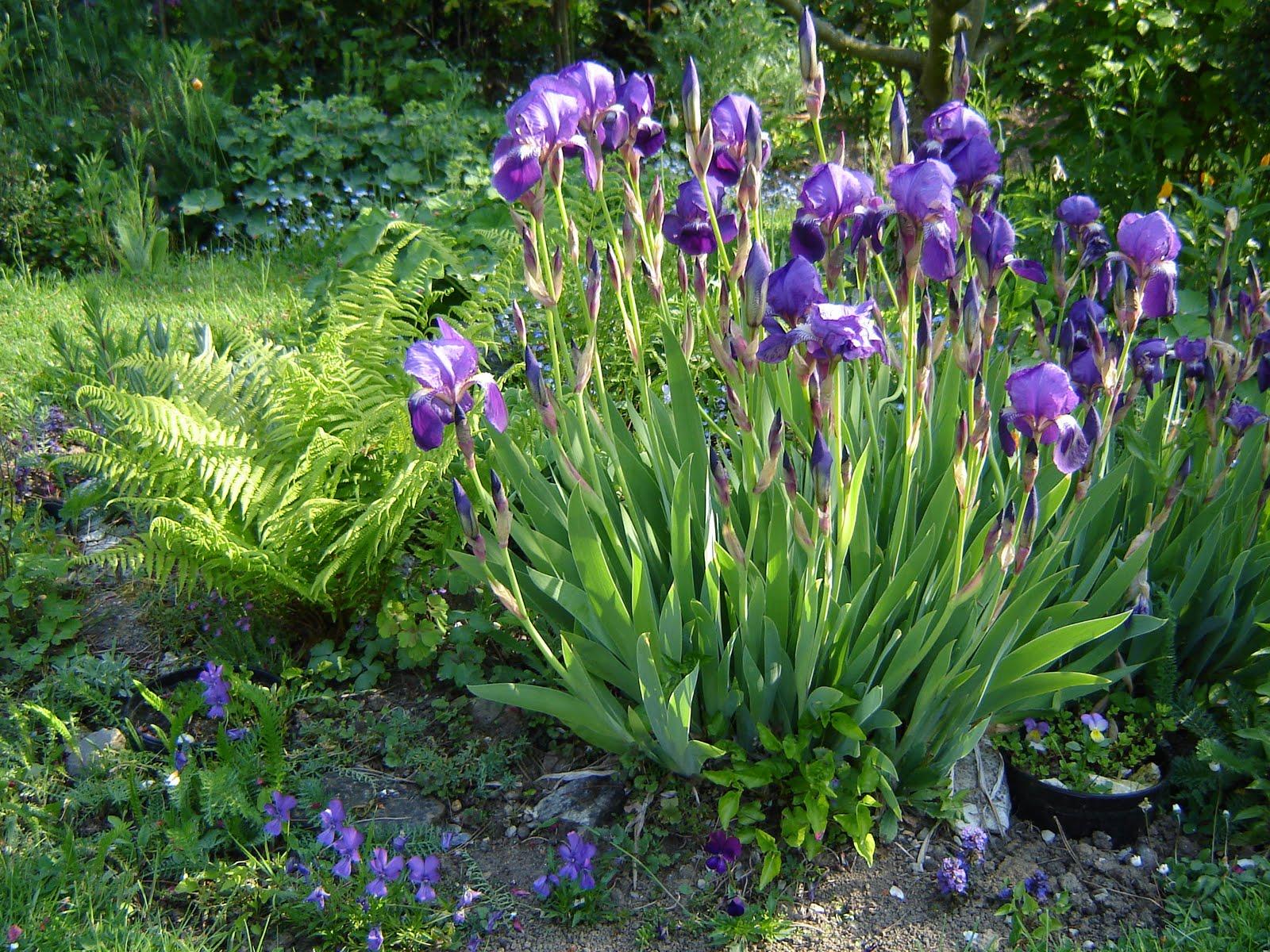 Fleurs de la sauvagine iris germanica une petite astuce - Iris germanica ...