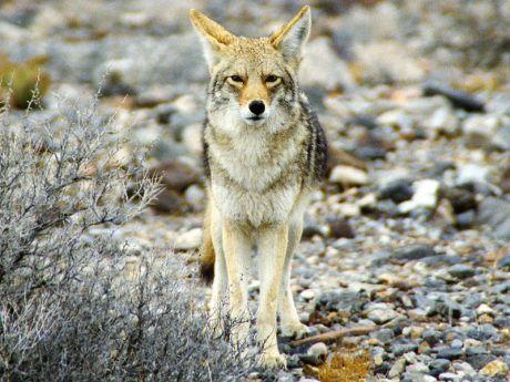 Coyote Mexicano