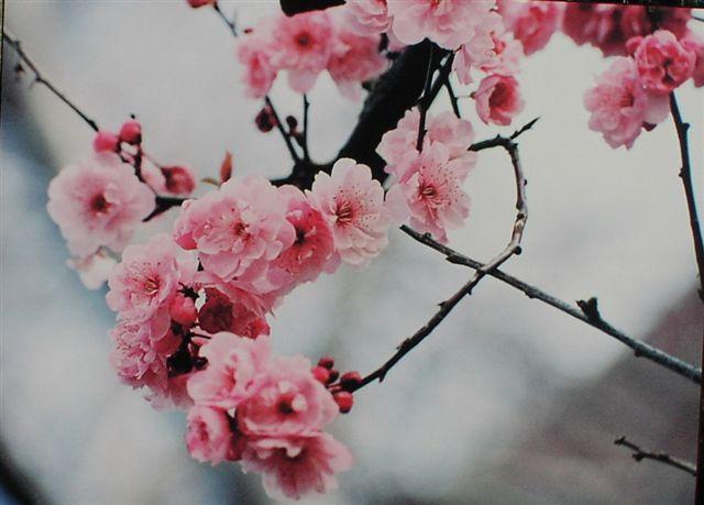 Sakura - Un blog que derrama sentimientos.