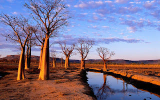 Boab-Trees-Kimberley-Plateau-Wallpaper