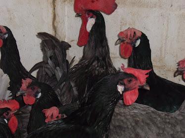 Gallinas negras sureñas