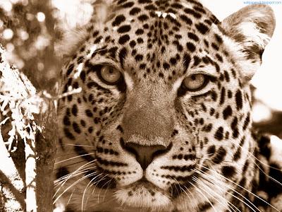 Tiger Standard Resolution Wallpaper 2