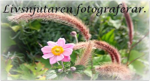 Livsnjutaren fotograferar