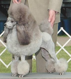 Continental Clip Poodle