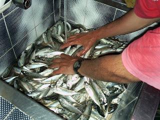 порция сафрид, риба, морски риболов