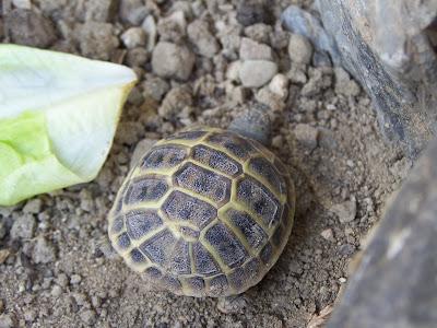 Tuttocello tartarughe for Tartaruga di terra in casa