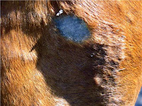 Hair Follicle Infections on a Horse Can Appear to be Ringworm