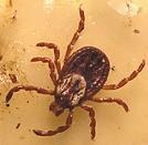 Female Wood Tick (Also Known as 'Dog Tick')