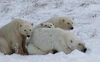 чукотка фото,белые медведи
