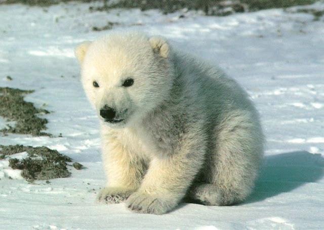 на чукотке белый медведь малыш