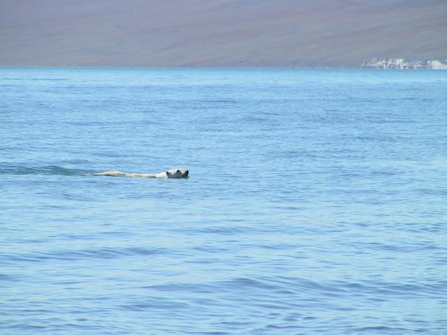 на чукотке белый медведь в воде