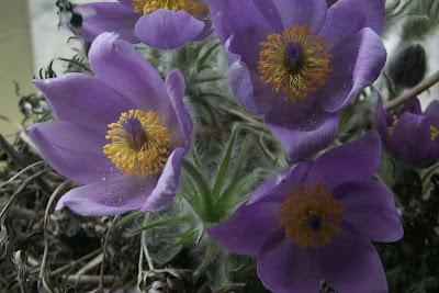 первые-цветы-на-Чукотке
