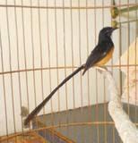Radja Burung Perawatan Cendet Jawara