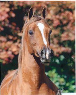 arabian horse bad breed