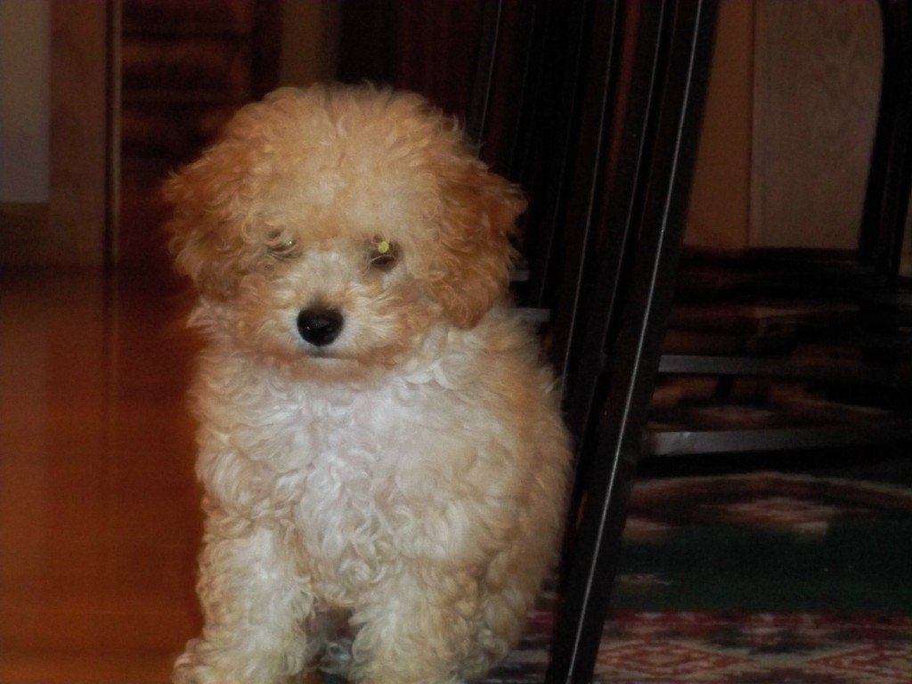 Toy poodle full grown white