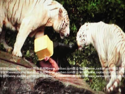 Singapore  Incident Pictures on Photos Of White Tigers Attack Man In Singapore Zoo   Funky Downtown