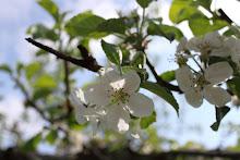 Äppelblomster