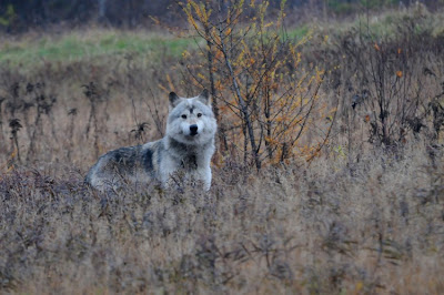 Timber Wolf - copyright 2010, Mario Borsato
