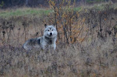 Timber Wolf - copyright 2010, Mario Borsato