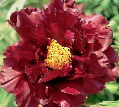 BLACK PANTHER TREE PEONY, PEONY FARM WA