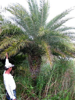 date palm seeds. the silver date palm,