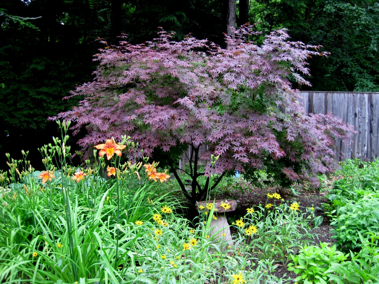 All The Latest Dirt My Japanese Maple Tree