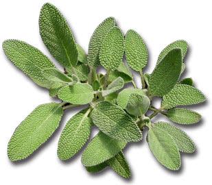 sage herb 5 Obat Tidur Alami Untuk Atasi Sulit Tidur (Insomnia)