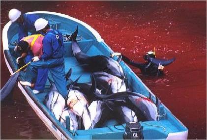 delfines en Taiji