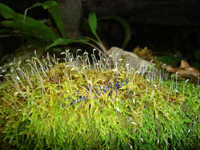 Musgos no Parque Nacional do Itatiaia