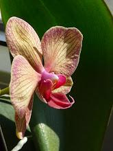Orchidám