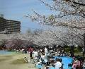 CLICK for more HANAMI photos 