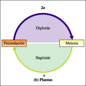biologia: MITOSIS Y MEIOSIS