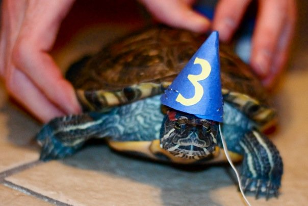 turtle wearing birthday hat