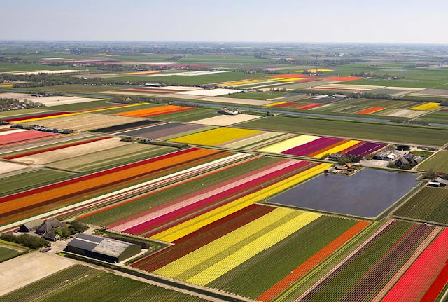 Dutch tulip field 2