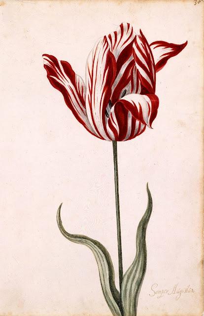 botanical print of semper augustus tulip