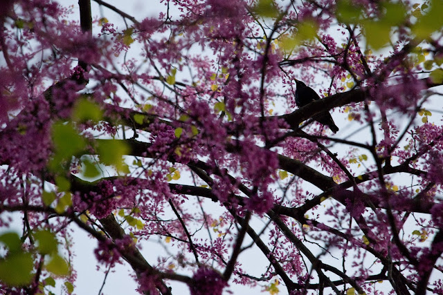 bird silhouette in flowering tree