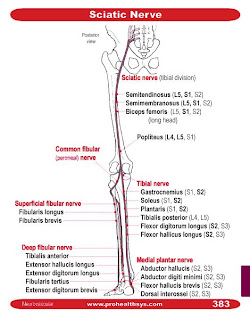 the G group: PCL 6 - Sciatic Nerves by Jinli Sciatic Nerve Branches