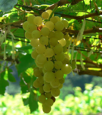 Chenin Blanc (shen-in blohnc or shan-in. blohnc) is the official name for