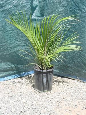 Видове палми - Rhopalostylis