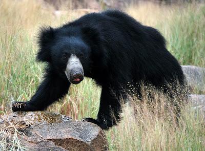 Sloth bears in Daroji - Lakshmi Sharath