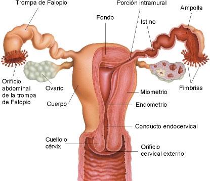 CoMs: SISTEMA REPRODUCTOR FEMENINO